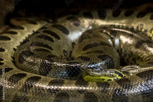 Green anaconda, Eunectes murinus,  sucuri snake Wallpaper Mural