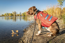 Young Pit Bull Terrier Dog In Life Jacket