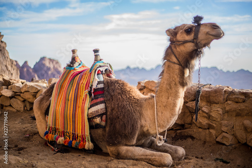 Fotobehang Kameel Camel at the Sinai Mountain in Egypt, south sinai.