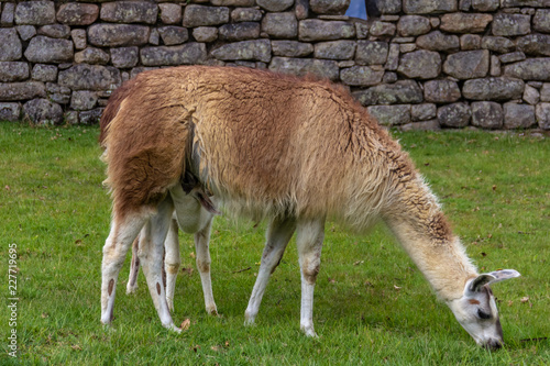 Spoed Foto op Canvas Lama llama and her baby