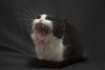 Studio portrait of a cat yawning on black background