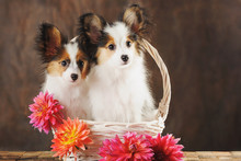Two Puppies Papilion In White Basket With Dahlias On Dark Brown Background. Horizontal.