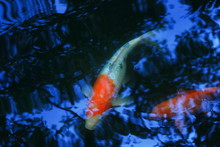 Closeup Picture Of Beautiful Carp Fish Swimming In The Pool With Blue Light