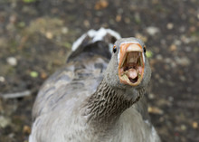 Aggressive Goose Looking At Ca...