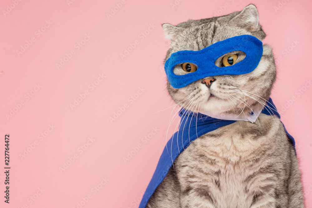 Fototapety, obrazy: superhero cat, Scottish Whiskas with a blue cloak and mask. The concept of a superhero, super cat, leader