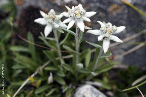 Photo stelle alpine