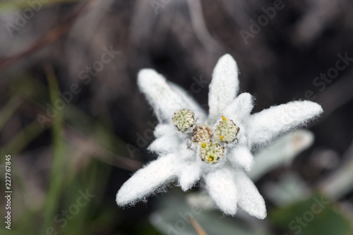 Photo stella alpina