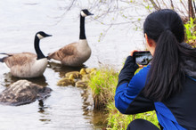 A Woman Taking Pictures Of Canada Geese At Burr Pond State Park