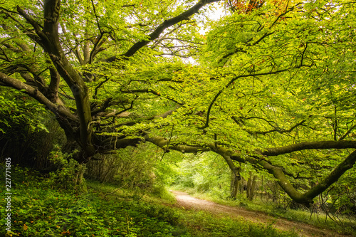 Aluminium Prints Road in forest Old Beech tree in woodland on Goodwood estate in England