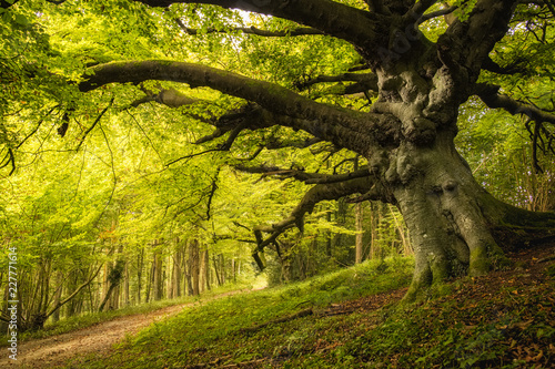 Obraz Old Beech tree in woodland on Goodwood estate in England - fototapety do salonu