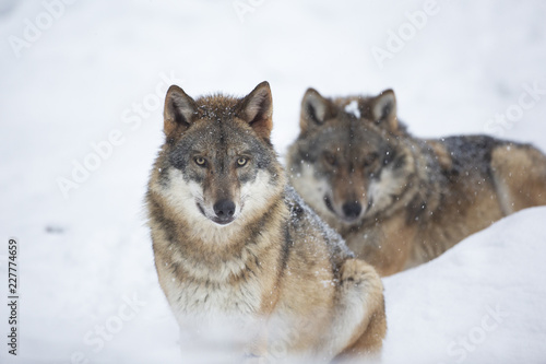 Wolves in winer