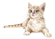 Hand Drawn Realistic Portrait Of The Lying Ginger Kitten