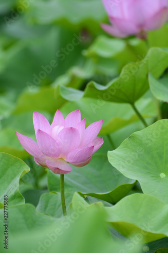 Foto op Canvas Lotusbloem Lotus flower plants
