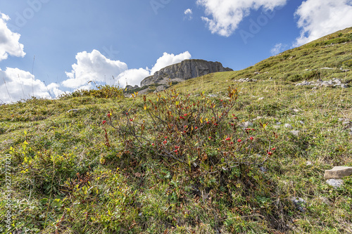 Spoed Foto op Canvas Natuur Some berry plants on the Way up to the Summit of Hoher Ifen / Austria