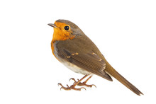 Robin Isolated On A White Back...
