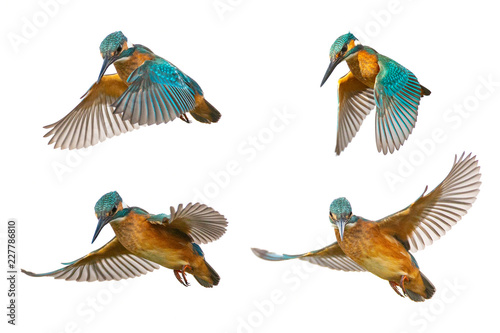 Foto Collage of four Common Kingfisher (Alcedo atthis) in flight isolated on a white