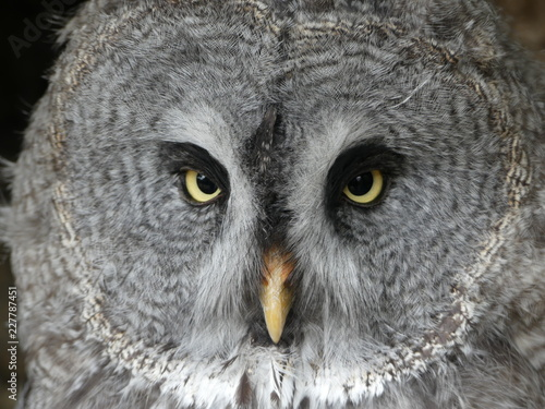 Keuken foto achterwand Uil Great Grey Owl, also known as Great Gray owl - Strix nebulosa
