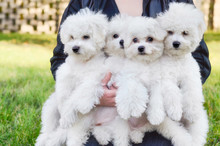 Woman Holding Four Bichon Frise Dogs Outdoors