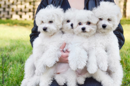 Obraz na plátne Woman holding four Bichon Frise dogs outdoors