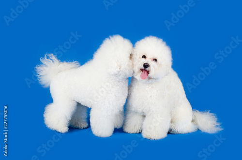 Fotografia, Obraz  Adorable couple of Bichon Frise dogs posing against blue background