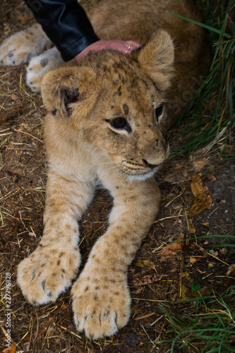 Fotografie, Obraz  the little cub stroking a woman's hand