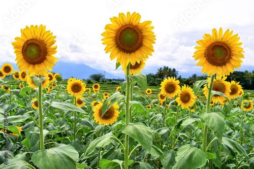 Growing Sunflowers in a field