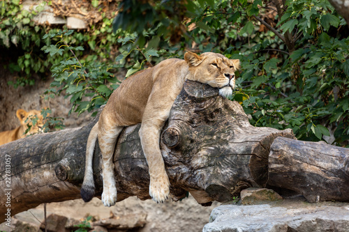 Fototapeta Lioness laying lazy on a fallen tree trunk with its paws hanging beside and head