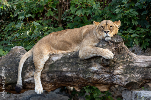 Fotografie, Obraz  Lioness resting on a fallen tree trunk with its paws hanging and head turned tow
