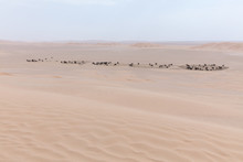Camels On Sand Dunes In Rub Al Khali (the Empty Quarter), Oman
