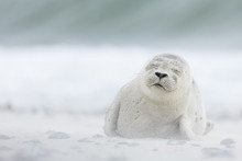 Harbour Seal Pup In White Sand...