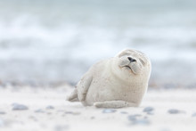 Seal Pup Sleeping On The Beach...