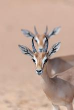 Arabian Gazelles In The Desert...