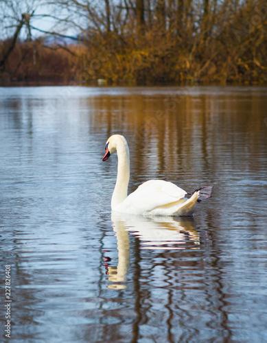 Deurstickers Zwaan white swan on the river.