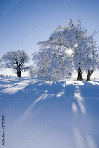 Verschneite Bäume an einem sonnigen Tag im Schwarzwald / Snowy trees on a sunny day in the Black Forest