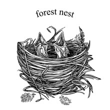 Wild Life. Two Baby Birds With Open Mouths In Nest. Engraving Style. Vector Illustration.