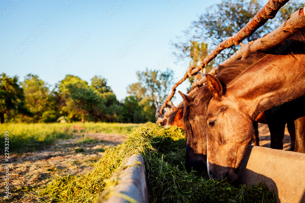 Brown horses eating grass in stable. Farming in countryside
