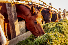 Brown Horses Eating Grass In S...
