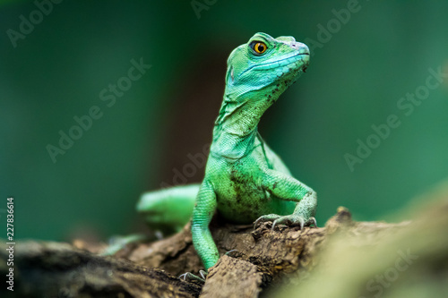 Eidechse - freigestellt vor grünem Hintergrund