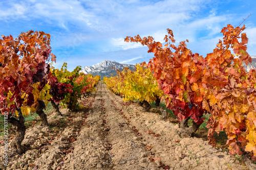 Vineyard at Rioja Alavesa, Cantabria mountain range as background, Basque Country, Spain