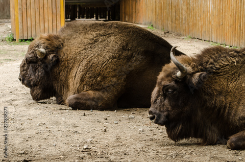 Photo  big brown bison with horns have a rest in Kyiv Zoo