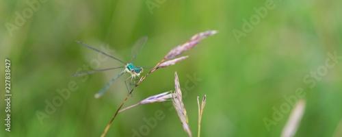 Kleine Binsenjungfer (Lestes virens), junges, nicht ausgefäbtes Männchen, sitzt an Grashalm, Lüneburger Heide, Niedersachsen, Deutschland, Europa