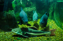 Three Photogenic Fish And Catfish In The Aquarium In Kiev Zoo