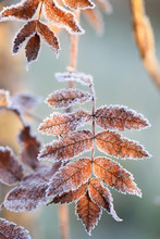 Yellowed Leaves Covered With Frost, Early Morning, First Frost