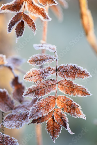 yellowed-leaves-covered-with-frost-early-morning-first-frost