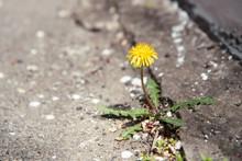 A Yellow Dandelion Plant Grows...