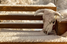 A Cow Skull Rests On The End Of A Snow Covered Bench Outdoors In The Winter