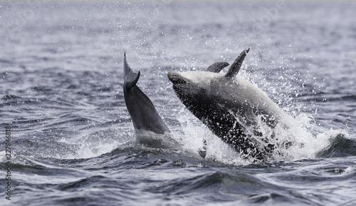 Papiers peints Dauphins Jumping (breaching) Wild bottlenose dolphin tursiops truncatus..