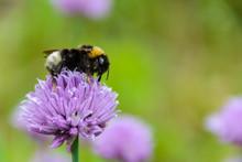 Large Fluffy Bumblebee (bombus...