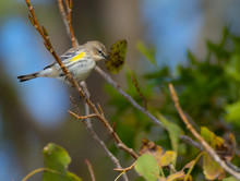 Yellow-Rumped Warbler In Tree