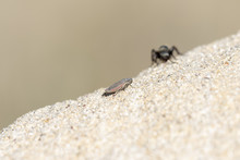 Black & Gold Velvet Ant Wasp (.